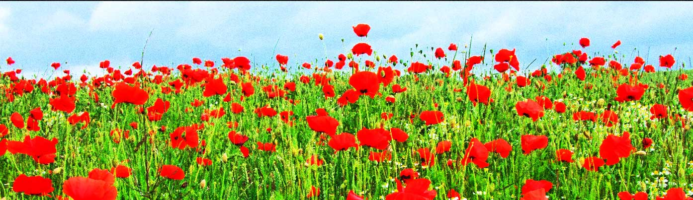 poppies-bg